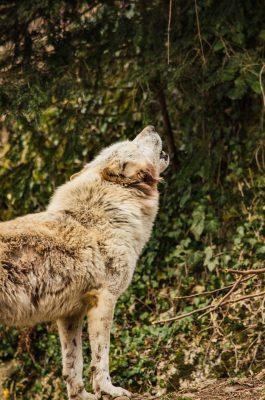 wolf, white wolf, white fur